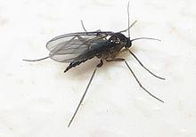 220px-Female_black_fungus_gnat