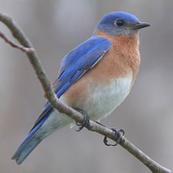 250px-Eastern_Bluebird-27527-2