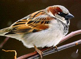 house_sparrow_glamour