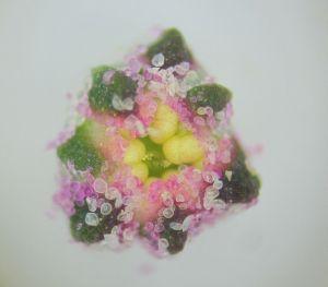 Quinoa_flower