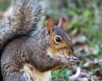 gray-squirrel-eating-fry-11758579